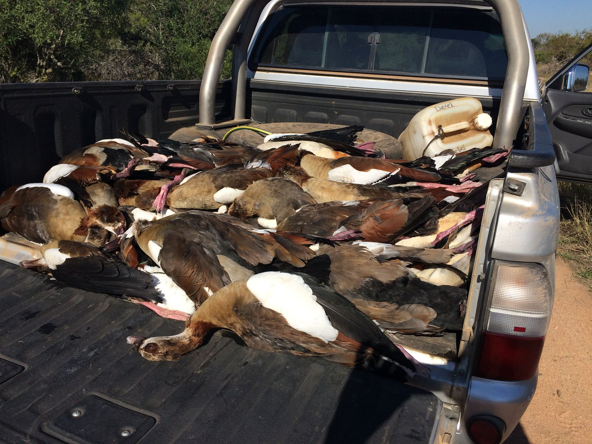 150 Geese Poisoned At Mjejane