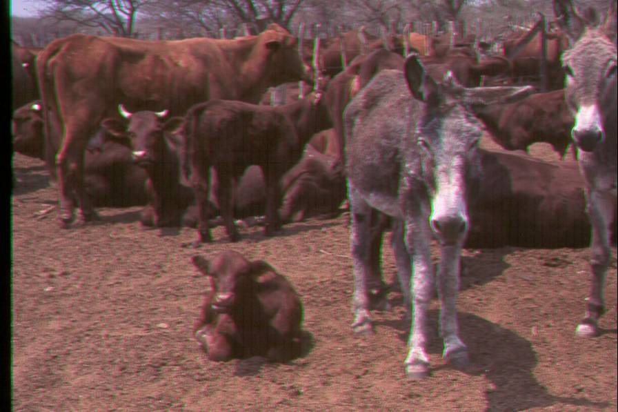 Donkey as livestock guardian