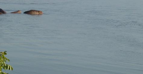 Zimbabwe: Govt Probes Hippos Poisoning