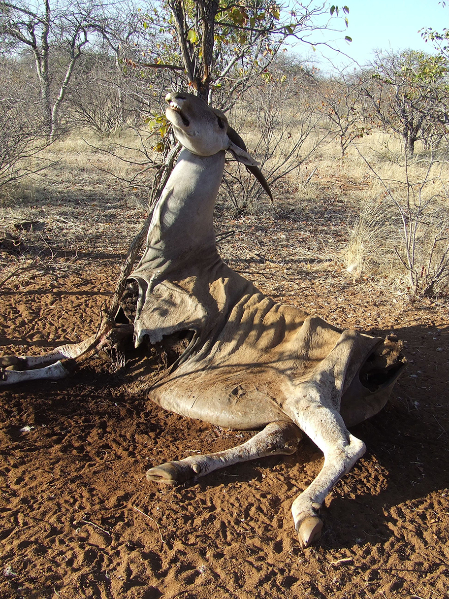 Eland caught in a snare © Tim Snow